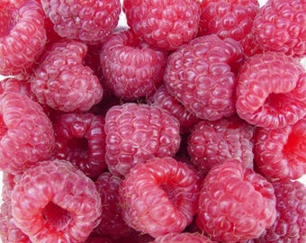 Nantahala Red Raspberry,  Grow your own Raspberries!