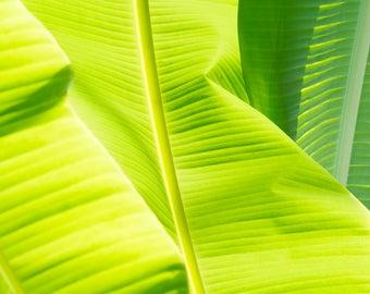 5 x 7, 8 x 10, 8 x 8, 8 x 10, 10 x10, 11 x 14, 16 x 20 Go Bananas Banana Tree Detail Digital Photo Print