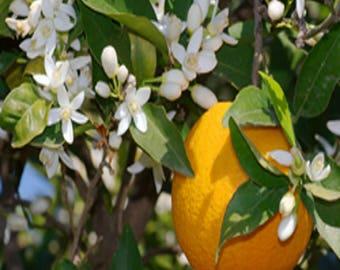 bigaradier Citrus aurantium 5 seeds