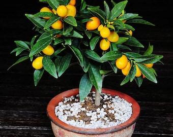 3 seeds Fortunella kumquat