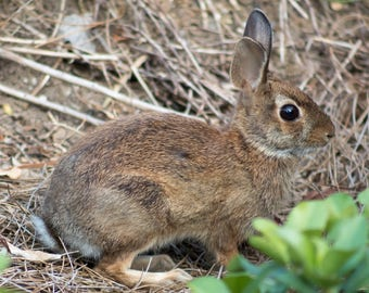 Eastern Cottontail Rabbit - Georgia - Animal - Digital Download