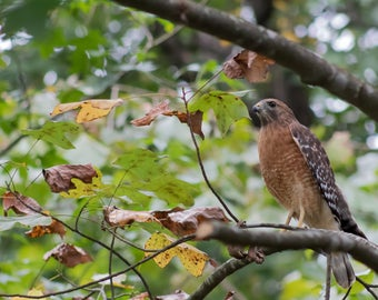 Red Shouldered Hawk - Georgia - Animal - Print