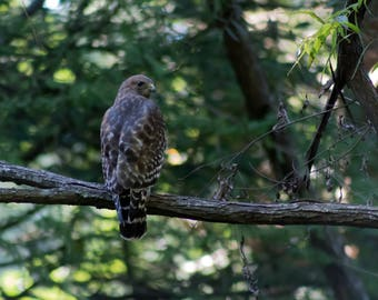Red Shouldered Hawk - Georgia - Animal - Digital Download