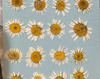 """Real Dried miniature white daisies Size about  1/2"""" - 1"""" each-  16 count in a packet"""