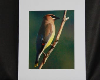 Cedar Waxwing Bird, wildlife photography