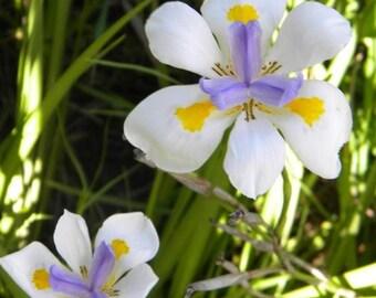 Poor Mans Orchid(Dietes grandiflora)