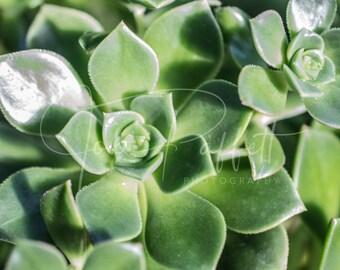 Succulents Digital Print