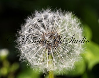 "Fine art photography ""Dandelion"""
