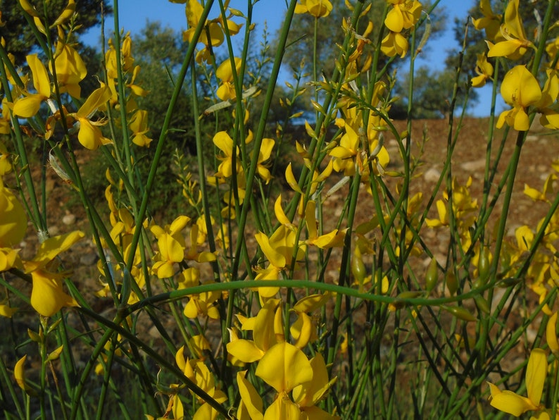 Spanish Broom seeds - yellow, from an organic source (20 seeds)