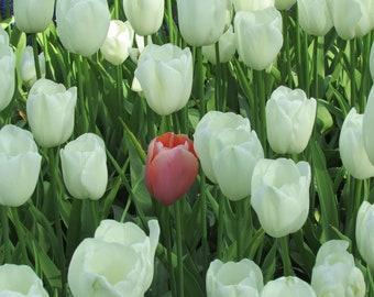 Pop of Color Tulip, digital, download