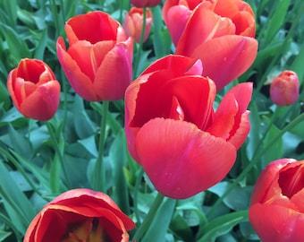 Red Tulips, digital, download