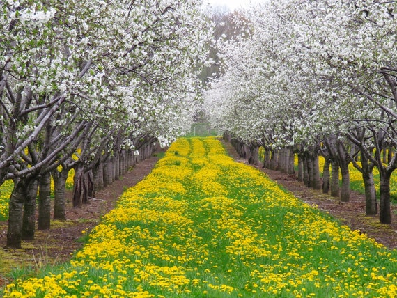 Spring Orchard Blooms Apple Trees Flowers Photo Photography Etsy