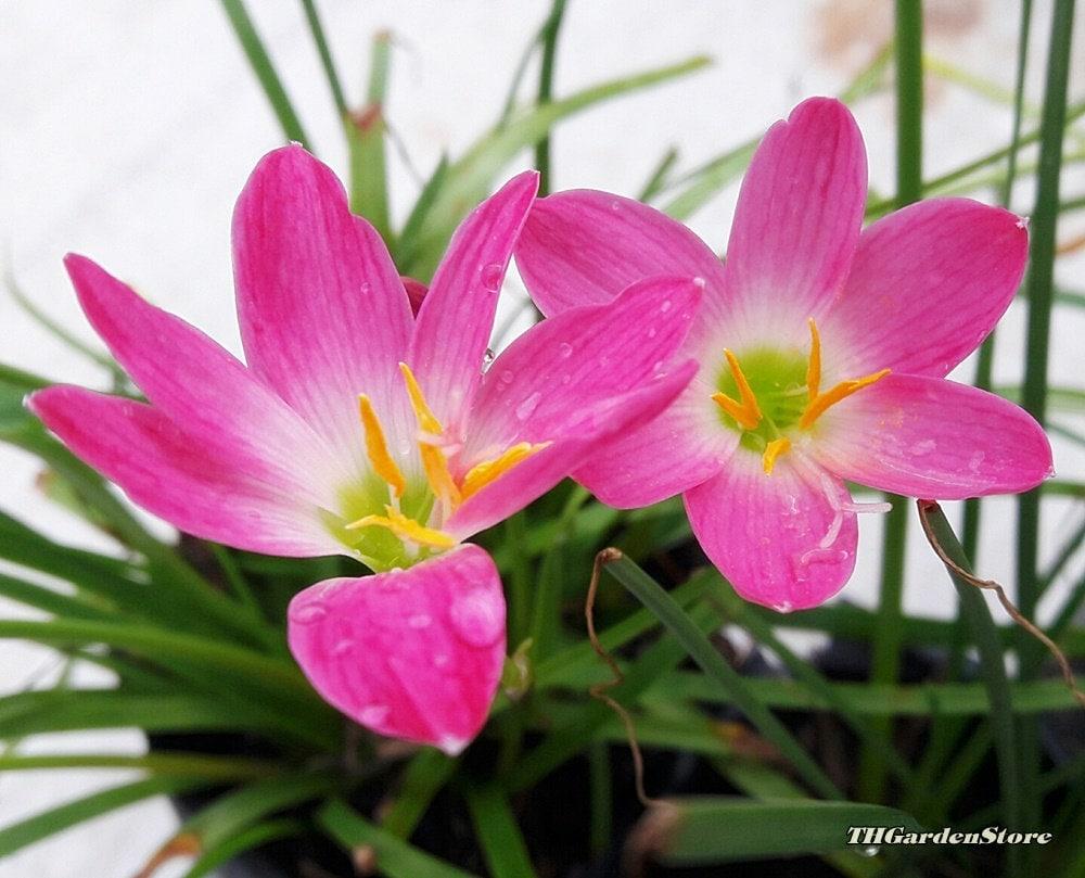 Zephyranthes magic lily fairy lily 2 x pink rain lily etsy zephyranthes magic lily fairy lily 2 x pink rain lily bulbs izmirmasajfo