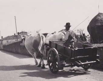 Vintage Photo, Man Riding in Ox Drawn Cart, Vernacular, Thatched Roof, Whip, Animals, Shadows, Dirt Road, Travel, Wagon Wheel, Top Hat, Vest
