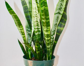 Beautiful, Sansevieria, Black Coral, rare house plants, indoor plants, ornamental houseplants, snake plant, mother in law tongue