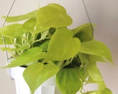Philodendron cordatum neon - philodendron hanging plant - live house plant