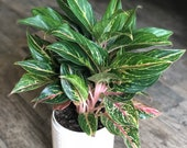 Aglaonema Butterfly - tropic passion- chinese evergreen- live house plant