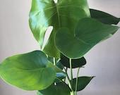 18-20 quot Monstera Deliciosa - split leaf philodendron- live house plant