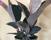 Ficus decora TINEKE (Rubber Plant)- live house plant- rubber tree