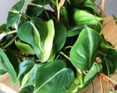 Philodendron Brasil (Pothos) Air Purifying Plant- Hanging Houseplant- live house plant