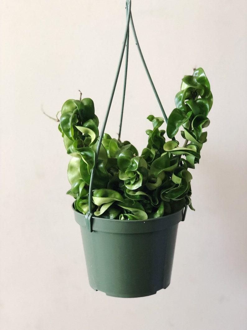 6 Hindu Rope Plant Compacta Hoya Carnosa Krinkle Etsy