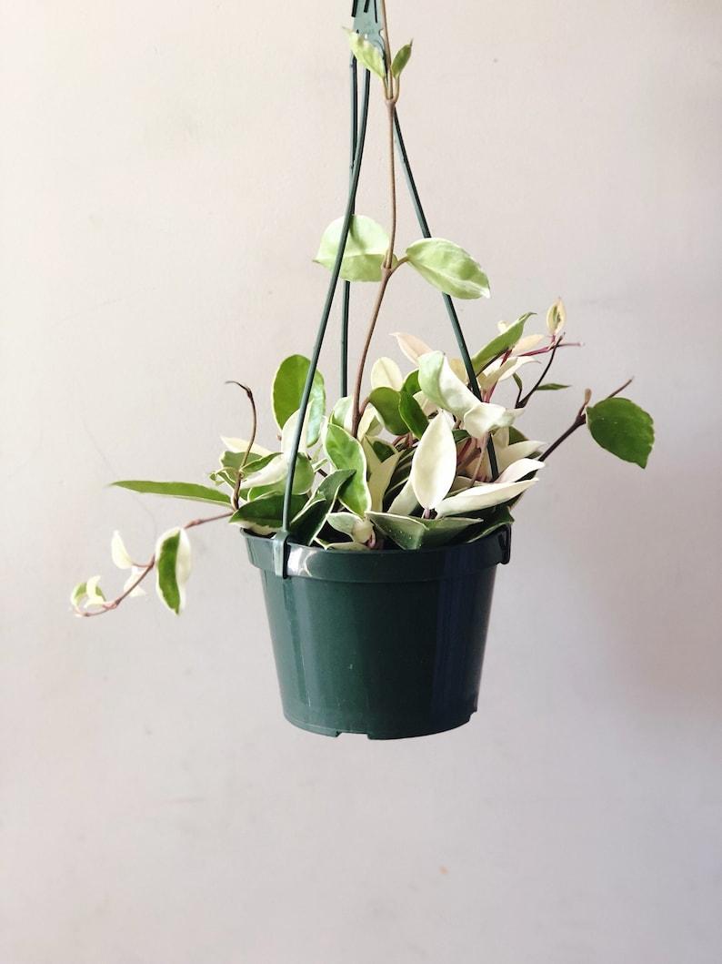 Variegated Hoya Carnosa Tricolor Krimson Queen Etsy