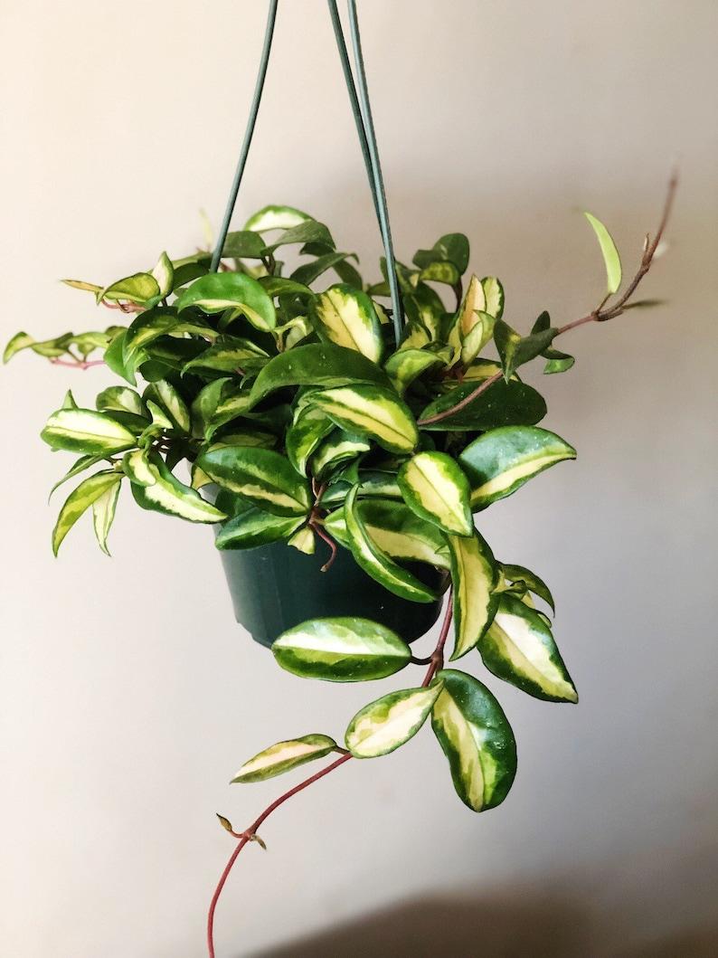 Large Krimson Princess Hoya Wax Plant Live House Plant Etsy