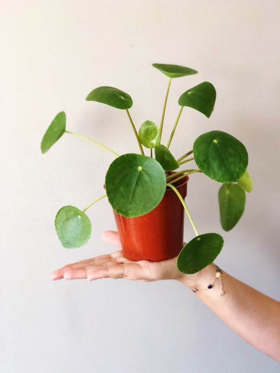 """4"""" Pilea Peperomioides  Chinese Money Plant   Pancake Plant   Ufo Plant  Live House Plant by Etsy"""