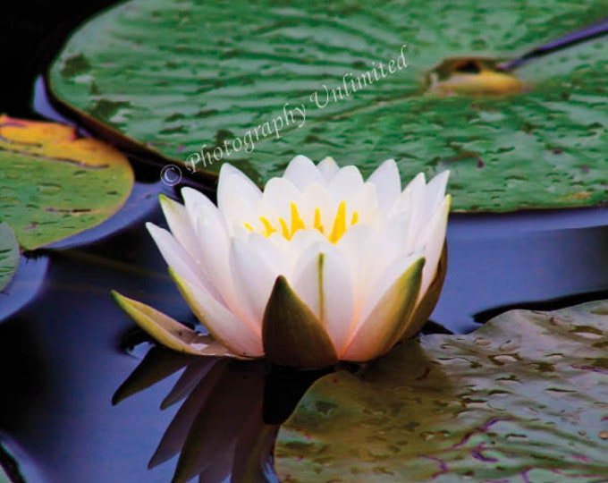 Pond Water Lilly
