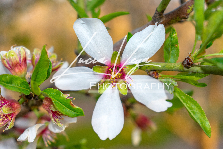 White Five Petal Flower Etsy