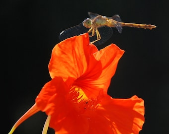 Dragon Fly on Nasturtium