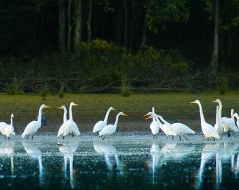 Exhultation of Egrets Panorama