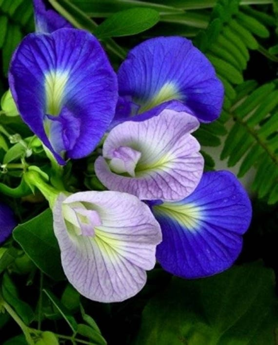 Blue Butterfly Pea 25 Seeds Clitoria ternatea