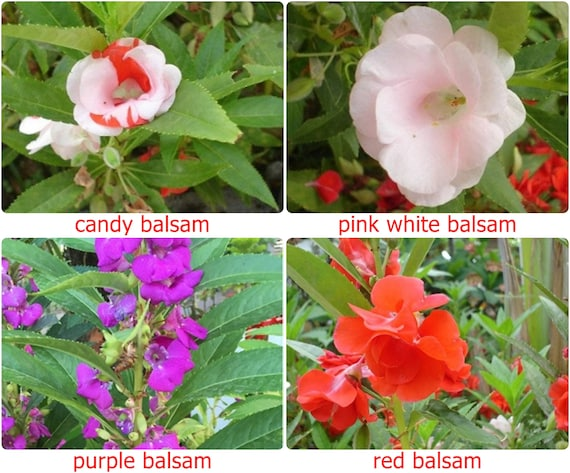 25 seeds fresh thai balsam impatiens candy IMPATIENS BALSAMINA rare flower