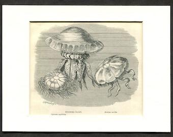 1865 Antique Print of Jellyfish - Medusa aurita - Jelly Fish