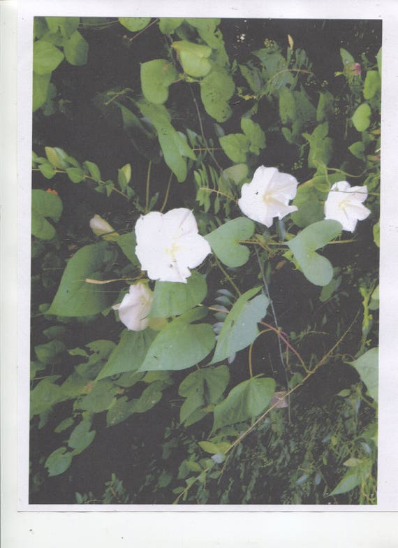 20 bright white moon flower vines or bush seeds for spring etsy image 0 mightylinksfo