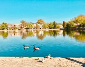 Swans on the Lake - Digital Photo