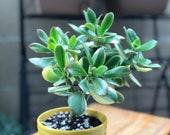 Crassula ovata obliqua Variegated Jade Plant Lemon 39 n Lime Rooted Succulent Cuttings 4 quot pot
