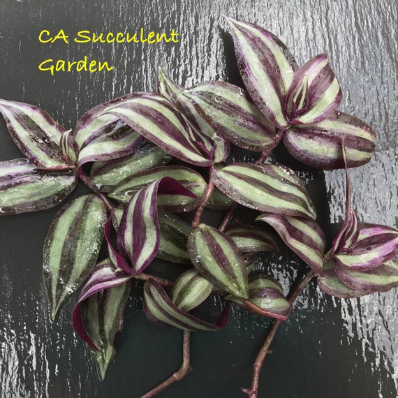 8 Wandering Jew Tradescantia indoor house plant green unrooted cuttings