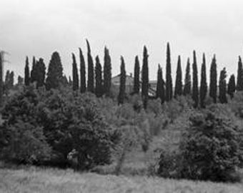 Cypress Trees in Italy, 1991