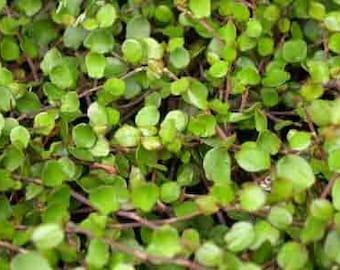 Muehlenbeckia complexa Creeping Wire Vine