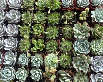 10/20/30 SUCCULENT PLANTS. Assortment. Favors.Gifts.Thank you.Showers.Wedding.Party.Garden.You name it!
