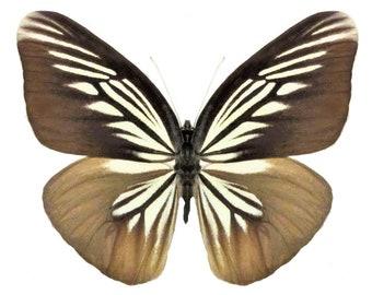 Pareronia Boebera Forewing  - E202 Handmade  Real Butterfly Wing Earrings Buy 2 Get 1 Free