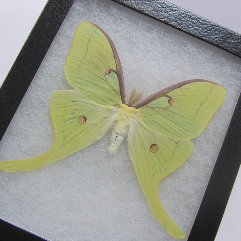 Real Moth Real Butterflies Gifts, Framed Green Actias Luna Moth Home Decor Riker Mount Moth Art and Collectibles Insect Taxidermy
