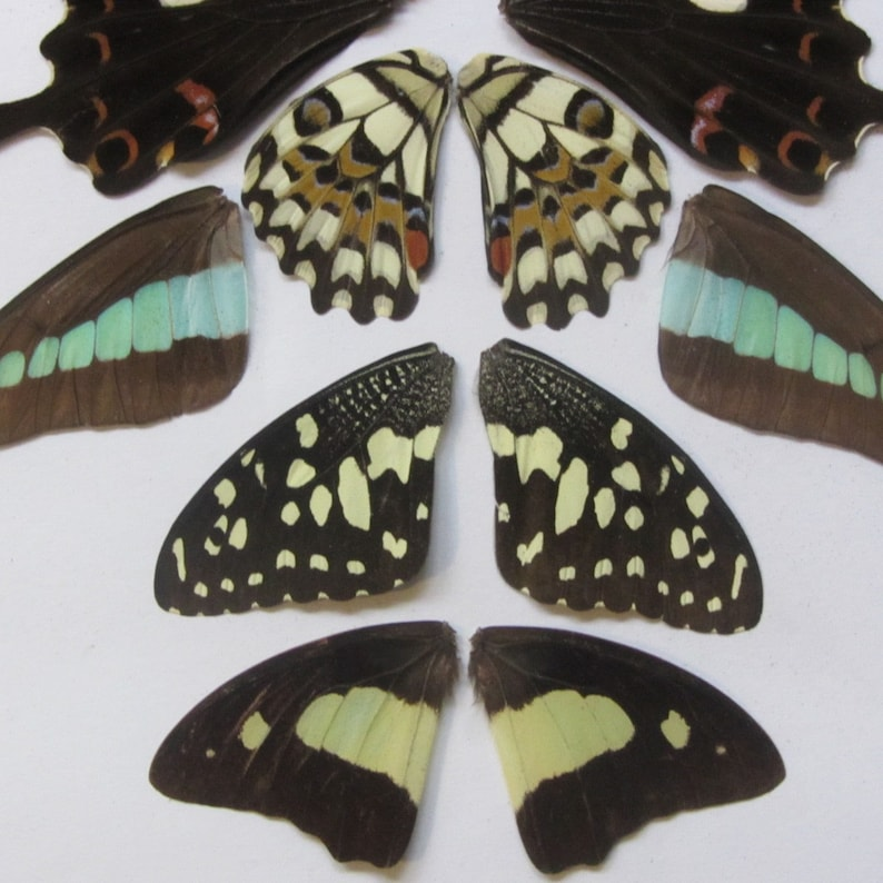 assorted wings art and collectibles mixed media, insect taxidermy mix lot 5 pairs real butterfly wings
