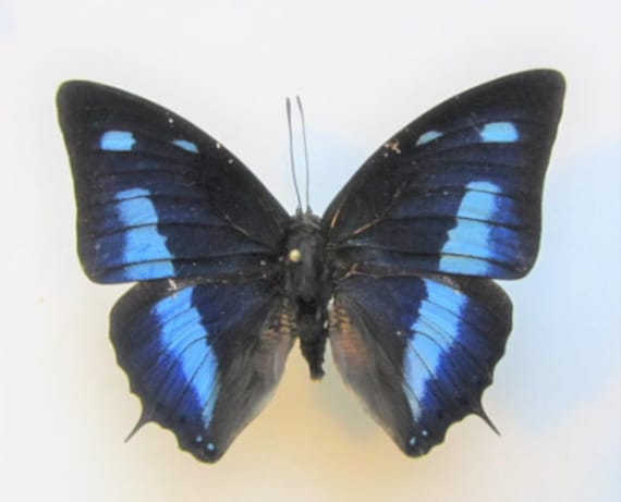 CALLICORE AEGINA unmounted butterfly