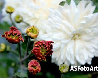 Chrysanthemum, Chrysanthemum Photo, Autumn Flowers, Digital Chrysanthemum Load, Bouquet Flowers, Digital Card,  Macro Fine Art Photo Print