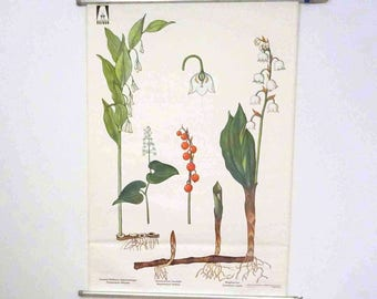 Vintage Pull Down Chart | School map | Lily of the valley (Conrallaria majalis) - retro vintage, decoration, 70s