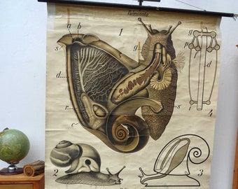 Paul Pfurtscheller 20/'s algae  seawheed vintage Vintage Pull Down Chart original wall hanging chart