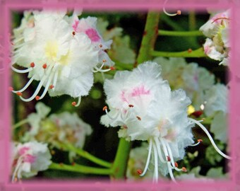 Chestnut essence etsy white chestnut flower essence natures remedies mightylinksfo